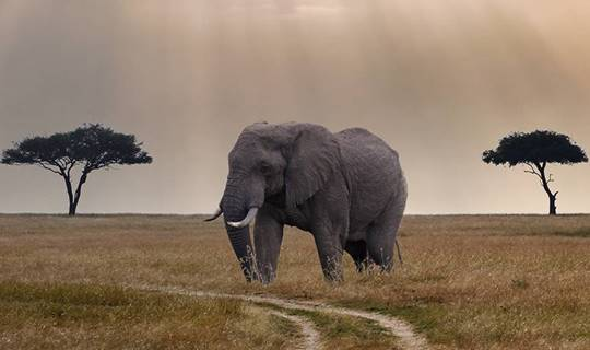 Elephant between two trees in African Savannah